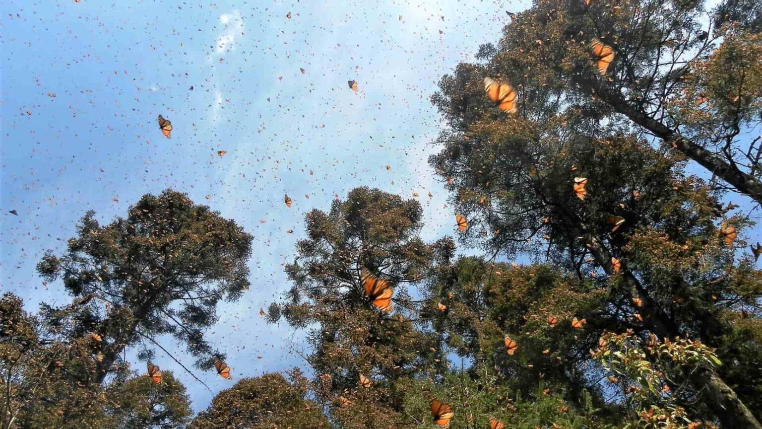 galerie photo voyage Mexique , les papillons monarques en plein vol