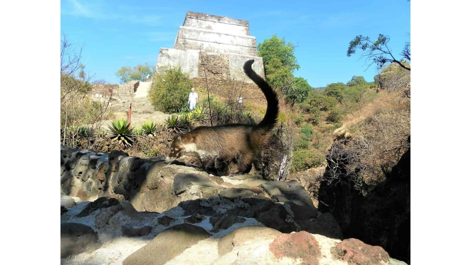 galerie photos voyage Mexique , coati dans les ruines du Tepozteco